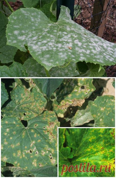 Пятна на листьях огурцов – из-за чего появляются, что делать и чем лечить | На грядке (Огород.ru)