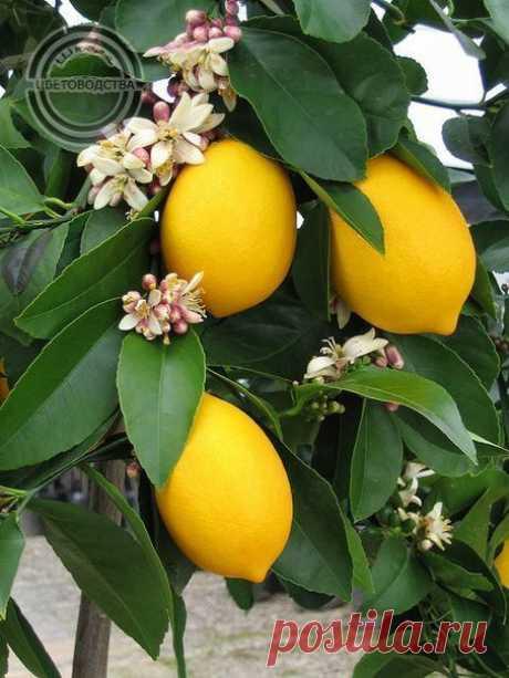 ЧЕМ УДОБРЯТЬ ЛИМОН?  Выращивая лимон дома, всем хочется, чтобы он побыстрее подрастал, да еще и приносил плоды. Это свое желание необходимо подкрепить регулярной подкормкой лимона в домашних условиях, так как изначально подготовленная и удобренная почва, при интенсивном росте растения, в течение трех-четырех месяцев истощается. Показать полностью…