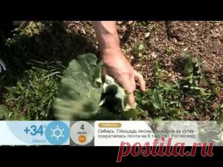 Доброе утро: Как избавиться от лопухов на участке 04.07.2014 - YouTube