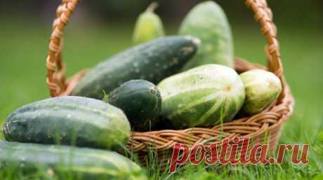 Как увеличить урожай огурцов в 1,5-2 раза   Выращиваете огурцы уже не первый год, но урожай оставляет желать лучшего? Наши полезные советы помогут исправить эту ситуацию. Даже если при хорошем уходе ваши огурцы плохо плодоносят, значит, вы в …