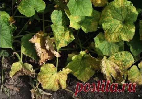 Из-за чего на листьях огурцов появляются ржавые пятна и как с этим бороться