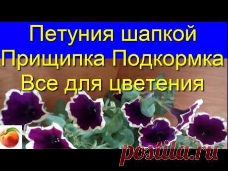 Петуния Секреты Цветения обрезка Подкормка Уход Черенкование Petunia Рим Маджента А Вы знали ?