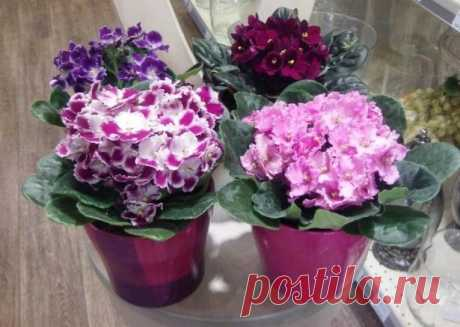 Только взгляните на эти цветы! Хотите знать секрет, как вырастить шикарные фиалки? — informed news 24