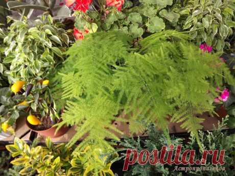 Аспарагус для Близнецов | Астропропаганда | Яндекс Дзен Автор статьи: астролог Нина Стрелкова. Аспарагус – изящное растение, веточки которого добавляют в букеты. Его листья кажутся легкой зеленой дымкой, окутывающий букет. Хотя на самом деле это вовсе и не листья, а тонкие, сильно разветвленные стебли. Аспарагусы выращивают не только для оформления букетов, но и в качестве комнатных растений. Если вас интересуют его «волшебные» свойства, которые могут избавить вас от проблем только своим...