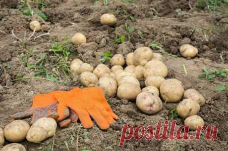 Как реанимировать землю после картофеля. Снова плодородная, снова большой урожай! | Идеальный огород | Яндекс Дзен
