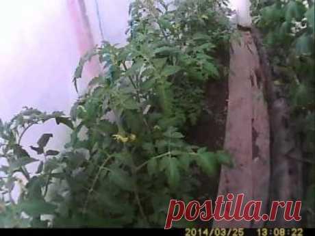 Почему у томатов уродливые плоды