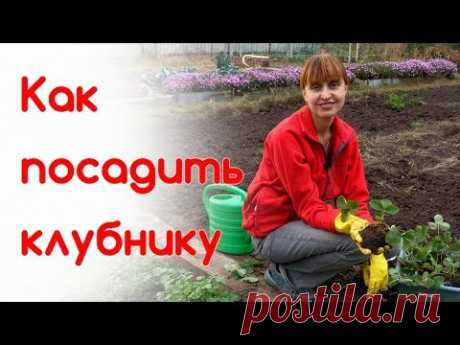How to plant strawberry in the fall. Cultivation of strawberry