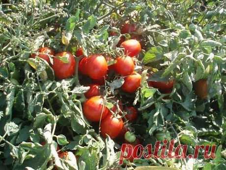 De 10 MEJORES CLASES DE TALLA BAJA de los TOMATES PARA el TERRENO ABIERTO. Por las revocaciones de los horticultores