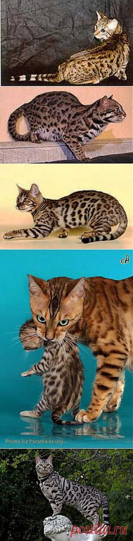 бенгальские кошки: 24 тыс изображений найдено в Яндекс.Картинках