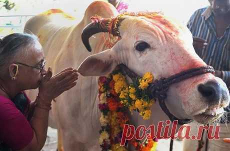 Апп и веб-сайт дадут возможность всем желающим как содержать корову, так и жертвовать деньги на определенные покупки для животных