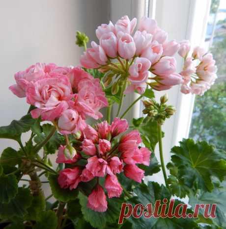 Меры после которых герань выбрасывает по 4-6 цветоносов за раз Меры после которых герань выбрасывает по 4-6 цветоносов за разГерань является настолько популярным цветком, что встречается едва ли не в каждом доме.Наслаждаться обильным и продолжительным цветением герани можно только при соблюдении всех правил ухода за растением. Впрочем, есть в этом...