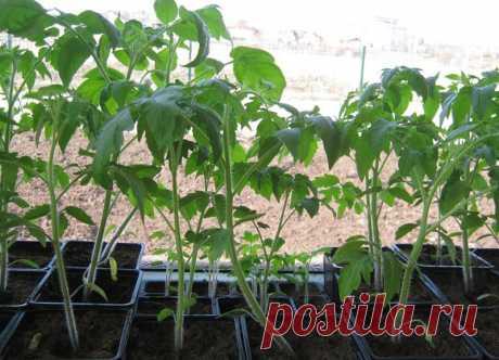 Что делать, чтобы рассада не вытягивалась   Выращивание томатов на дачном участке