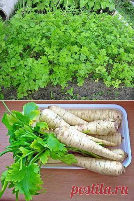Петрушка выращивание, уход и выгонка | Дача - впрок