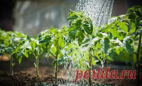 Нашатырный спирт спас мою рассаду помидор от «обморока» — как правильно делать подкормку | Малая Поляна | Яндекс Дзен
