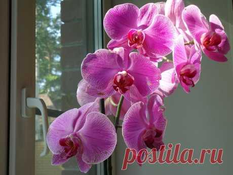 Орхидея сиреневая.