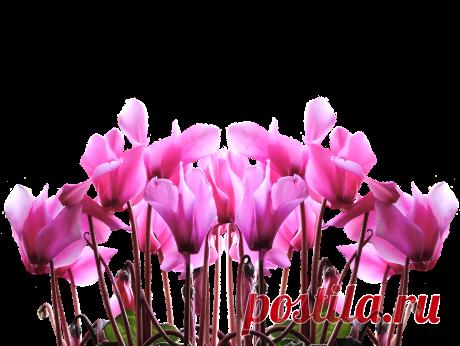 Цветок цикламен: уход в домашних условиях, размножение, приметы Если вы устали от осенней серости, то обратите внимание на комнатный цветок цикламен, время цветения которого начинается с ноября и заканчивается в апреле.