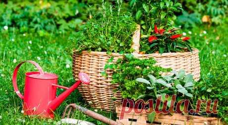 Чай на даче: пряные травы, которые будут расти в саду много лет