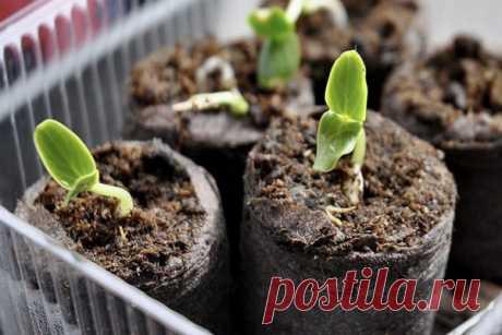 Как сажать в торфяные таблетки семена огурцов, помидоров, цветов