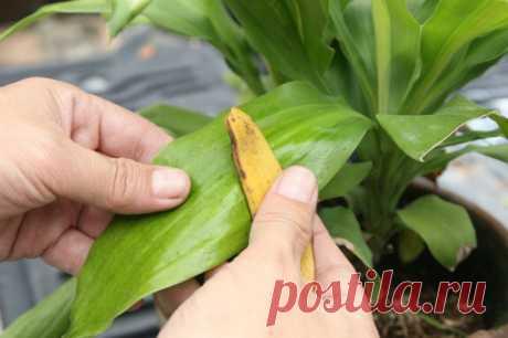 Безвредный полироль для листьев