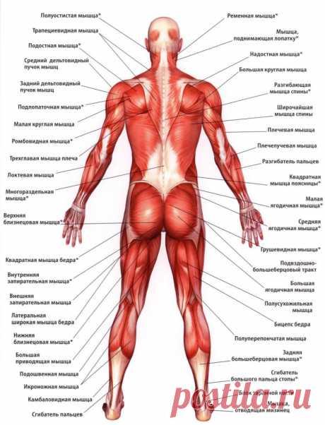 Карта мышц тела. Расположение и название мышц тела