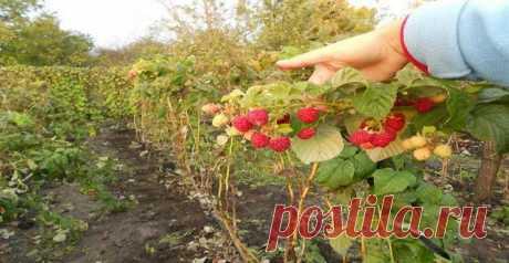 Как избежать разрастания малины на своём участке? | Дачные советы | Яндекс Дзен