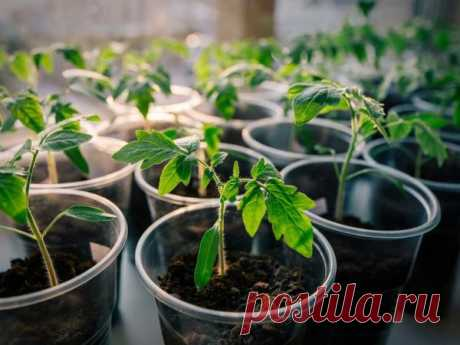 Плохо растет рассада помидор - что делать, чем подкормить