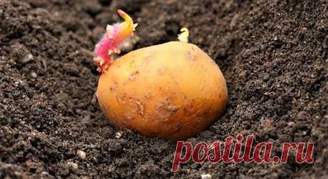 Посадка картофеля — важное событие для многих людей, потому что клубни картофеля являются для них основным продуктом питания. Приусадебный участок имеют большинство семей. Там они могут посадить и вырастить капусту, картофель, сладкие перцы, огурцы, ягоды виктории, морковь, помидоры.