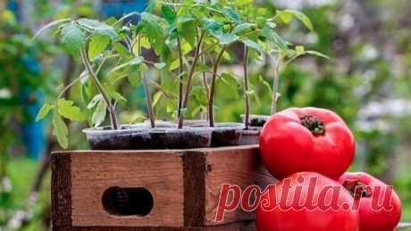 Как вырастить крепкую рассаду томатов? Правильная методика посадки!