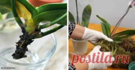 Как возродить «из мертвых» свою орхидею. Есть метод, который работает!  Не спешите выбрасывать.  Орхидеи - одни из самых продаваемых цветов в нашей стране, и не только. Если вы купили или получили ее в подарок, вы должны знать, что орхидея имеет очень строгие правила ухо…
