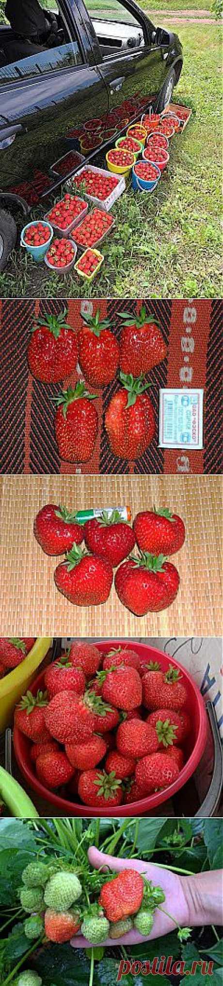 Клубника на моей даче, май - октябрь, фото  Клубника - моя любимая ягода. Несмотря на суровые сибирские климатические условия, при хорошем уходе она стабильно дает неплохие урожаи.