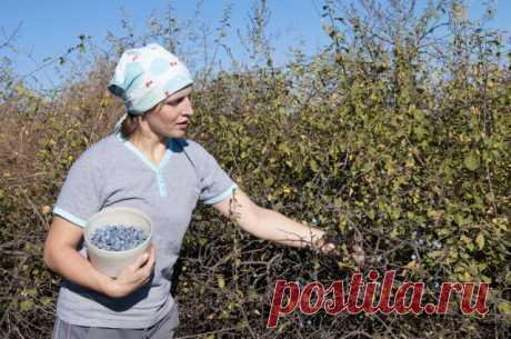 Терн на даче – сажать или избавляться | Слива, алыча, абрикос (Огород.ru)