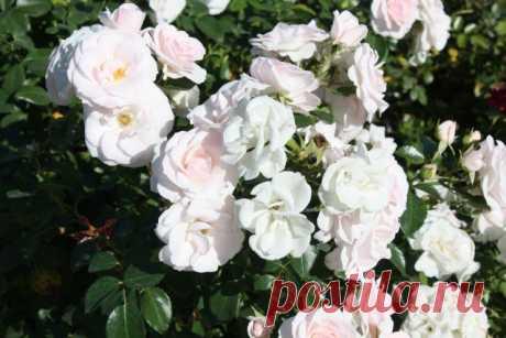 Чем ковровые розы лучше обычных и почему они так резко стали популярны? - Садоводка
