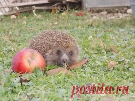 Нынче снова навестил нас ёжик. Прошелся по саду, замер около яблока, пофыркал и спрятался в дровах