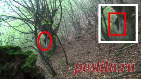 Загадочное существо Йети напугало туриста в лесу. Турист путешествовал в лесу с камерой снимал природу, в лесу встретил странное существо бикфут. турист успел снять снежного человека на камеру. снежный человек наверное был ростом приблизительно два метра, оно пряталось в толстом дереве