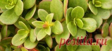 Портулак огородный – лечебные свойства