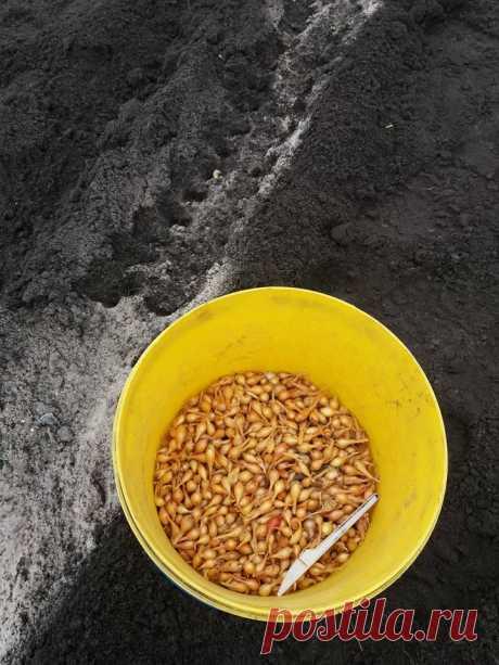 Провожу эксперимент по посадке лука севка под зиму. Лучок вырастила свой, не покупала. В прошлом году купила 0.5кг голландского лука и посадила под зиму - урожай был хороший. Суть эксперимента - только голландский хорош или свой то же может дать урожай?