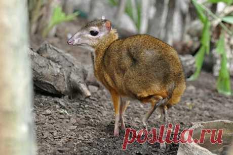 «Малый оленёк», также известный как «Канчиль» – это очень пугливое чудо природы. Вырастают эти микро-олени до 20-25 сантиметров (в холке), до 45-55 сантиметров (в длину), а весят – от 1500 до 2500 грамм.