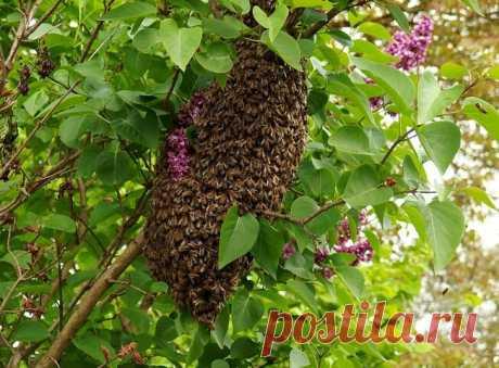 Увеличение пасеки через роение без беготни | Пчелы в радость | Яндекс Дзен