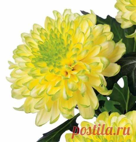 Саженцы хризантемы корейской купить с доставкой по России | Интернет магазин Сады-Эдема