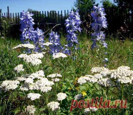 Тысячелистник в саду: выращивание, полезные свойства, применение