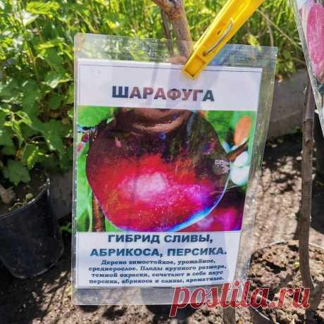 Люблю сливы, абрикосы и персики поэтому посадила их гибриды. Рассказываю о вкусных морозостойких диковинках в моём саду Не знаю, как вы, а я постоянно удивляюсь работе современных селекционеров. Они не только выводят новые сорта растений, но постоянно экспериментируют, скрещивают различные культуры. Например, из сливы, персика и абрикоса получились фруктовые деревья с интересными названиями. Но их главная особенность в том, что они наследователи сразу материнские качества ...