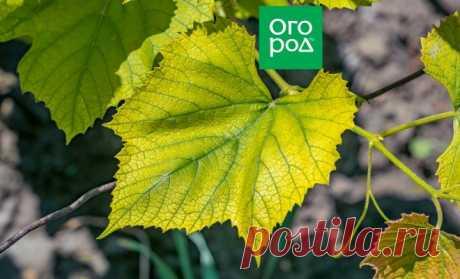 Почему у винограда бледные листья и что с этим делать | В саду (Огород.ru)