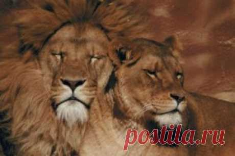 Lions of Africa and India — Animal Kingdom