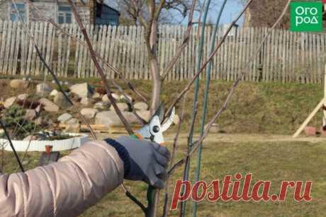 Как правильно обрезать яблоню и грушу весной (советы для начинающих)   Яблоня, груша (Огород.ru)