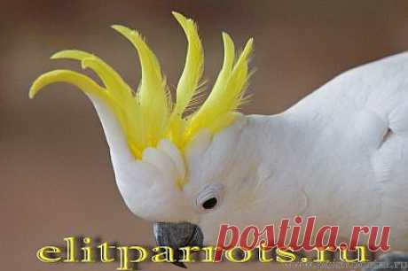 Какаду- ручные птенцы из питомников Англии,ФРГ / Поиск Портал.ru