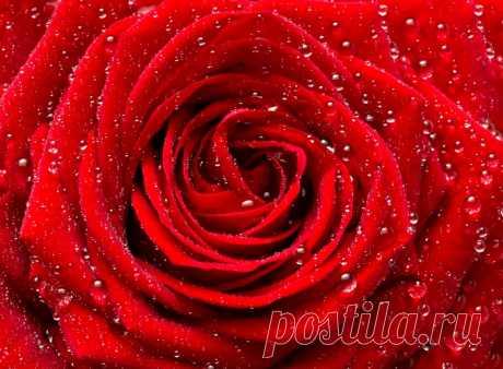 Обои на рабочий стол Цветы:Роза, Макро, Капли, Бутон, Цветок, Красная - скачать бесплатно.   Обои-на-стол.com