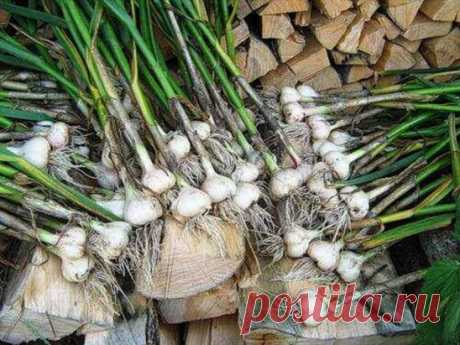 We look after garlic\u000aKeep not to lose!\u000aAs soon as leaves of garlic appear from the earth, landings feed up nitrogen fertilizer. For this purpose in 10 l of water dissolve 1 tablespoon of urea, 10 l - on 1 sq.m.\u000aWhen leaves of garlic reach height of 10-15 cm, otgrebat the earth from a bulb, sprinkle with ashes and return the earth into place. This operation is repeated at emergence of arrows.\u000aDeleting arrows of garlic, leave several pieces. It is possible to determine the optimum term of harvesting by them easily. As soon as