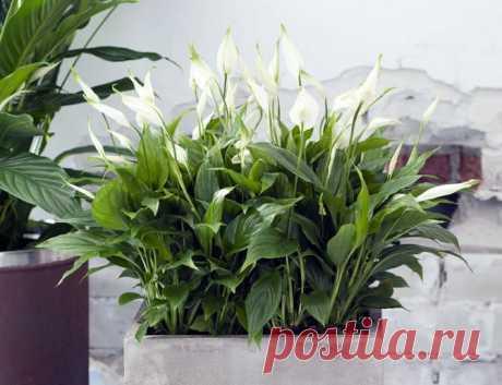 Спатифиллум: родина растения, уход в домашних условиях, пересадка и размножение