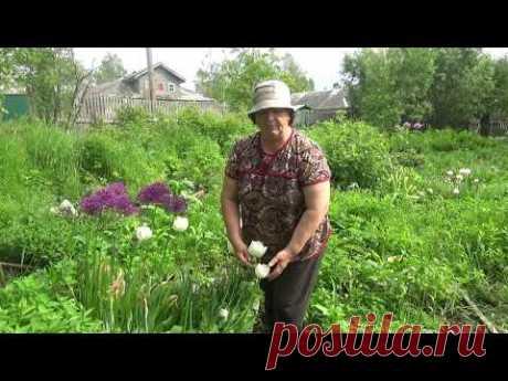 Уход за тюльпанами после цветения. Когда выкапывать тюльпаны? - YouTube