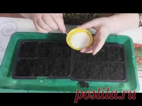 Сеем семена низкорослых комнатных томатов на рассаду в домашних условиях
